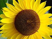 Klicke auf die Grafik für eine größere Ansicht  Name:Sonnenblume_gross.jpg Hits:149 Größe:36,8 KB ID:4784